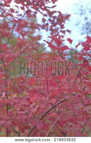 wild rose branch with red leaves ready for fall