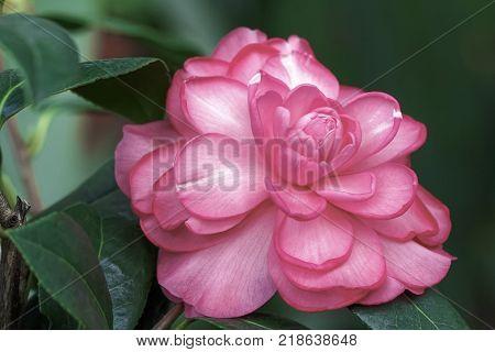 Close up of Pink Camellia  Camellia Blossom  williamsii Dream Boat