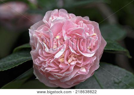 Close up of Pink Camellia  japonica L. Debutante Theaceae
