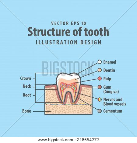 Cavitys Tooth Cross-section Structure Inside Tooth Diagram And Chart Illustration Vector On Blue Bac