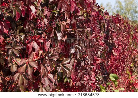 Autumn red wild grapes. Blue berries, autumn, wild grapes, red leaves of wild grapes.