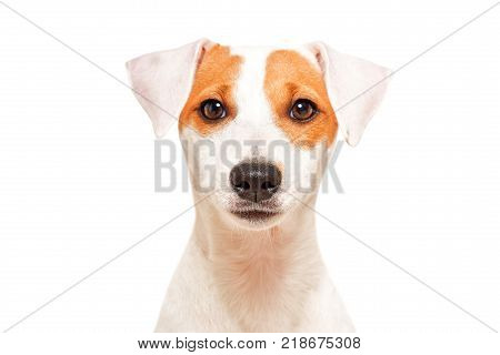 Portrait of cute young dog breed Parson Russel Terrier, isolated on white background