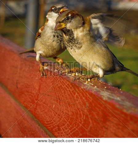 Image of sparrow on nature background. Bird. True sparrows, or Old World sparrows
