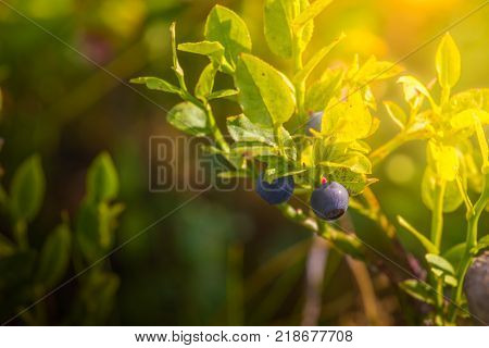Wild blueberries in the forest. Bush and sunshine.