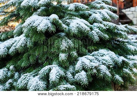 Frozen spruce tree branches covered with snow in winter