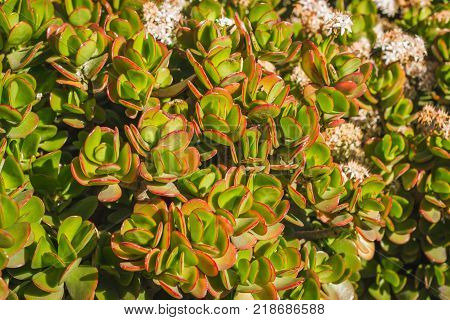 Crassula ovata, commonly known as jade plant, friendship tree, lucky plant, or money tree, is a succulent plant, leaves background
