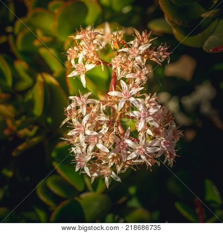 Macroview to the cluster of star-like pink flower and un-blown buds of Crassula Ovata succulent, jade plant, friendship tree, lucky plant, or money tree . Succulent plant