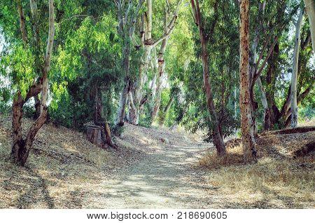 Abandoned dirt road passes through pretty eucalyptus wood among evergreen trees. Sunshine summer day.