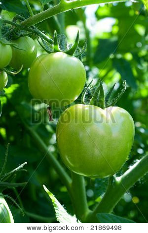 Some Green Tomatoes Hang On A Bush