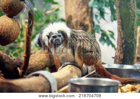 Cotton-top tamarin (Saguinus oedipus) also known as crested tamarin in captivity