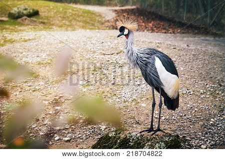 Black crowned crane (Balearica pavonina) standing on the rock. Copy space