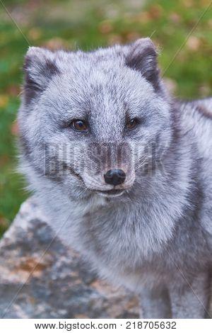 The Arctic fox (Vulpes lagopus) also known as the white fox polar fox or snow fox