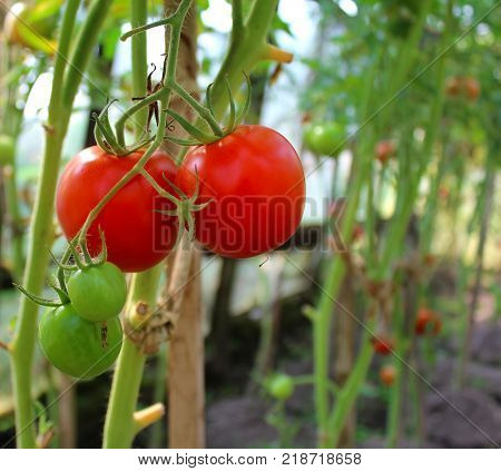 Ripe red tomatoes on a vegetable bed in the greenhouse.