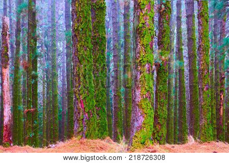 Foggy forest with mossy pines