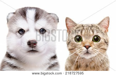 Portrait of the puppy Siberian Husky and cat Scottish Straight, closeup, isolated on white background