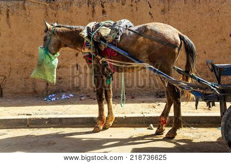 A malnourished and injured cart horse stands in a street of Morocco North Africa still loaded with packs and harnessed to the shafts of a cart while eating from a feedbag.