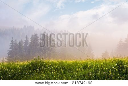 foggy sunrise in spruce forest. gorgeous summer scenery on a grassy meadow with wild herbs