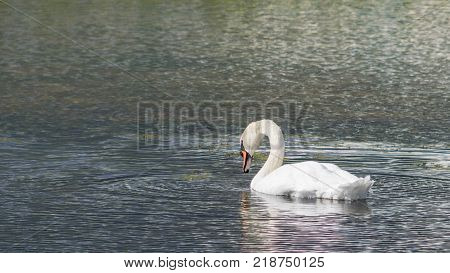 Mute Swan - Cygnus olorIn in lake water water with surrounding park trees in Ryton Pools, UK. poster