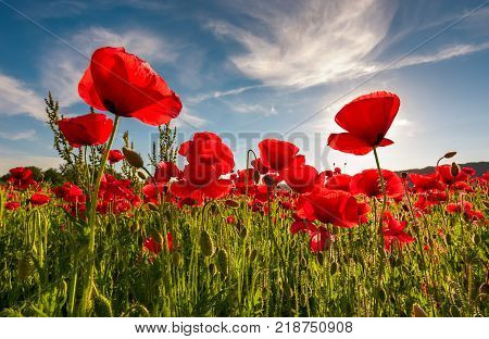 field of red poppy flower with sunburst shot from below. beautiful nature background against the blue sky