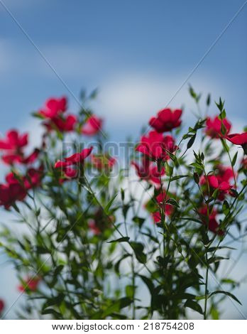 flower red flax against the blue sky