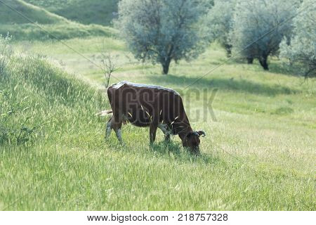 cow on the pasture . In the park in nature