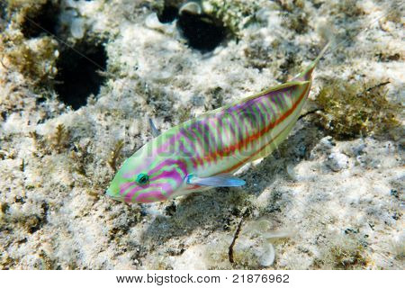 Colorful Rainbow wrasse (Thalassoma rueppellii) on a tropical coral reef. Thomas reef, Red Sea, Egypt.