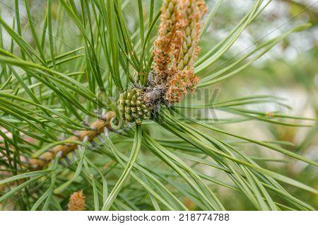 Green needles on a pine branch. Fresh bump on a pine branch. Natural fir background poster