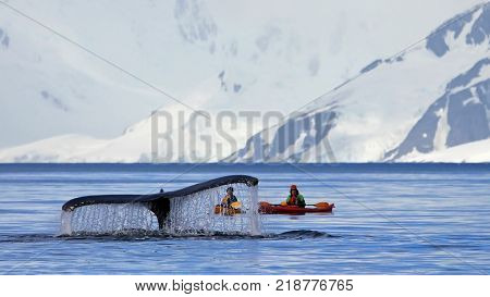 Humpback whale tail with kayak boat or ship showing on the dive Antarctic Peninsula Antarctica