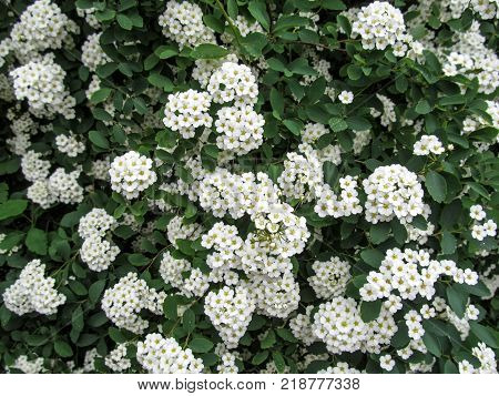 Elegant floral background for wedding cards with soft white Spiraea flowers. Inflorescences of many small florets are like a bouquet or a wreath of the bride