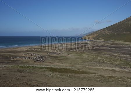 The Neck on Saunders Island in the Falkland Islands; home to multiple colonies of Gentoo Penguins Pygoscaelis papua and other wildlife.