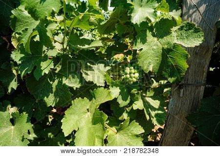 bunch of grape on vine grape Vineyards Bunches of ripe black grapes with leaves on a grape vine tree with sun beam with wooden footage