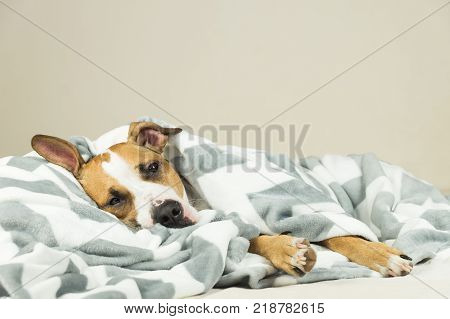 Funny young staffordshire terrier puppy lying covered in throw blanket and falling asleep. Tired or sick pitbull dog sleeping or resting under covers in bed in clean indoor bedroom conditions