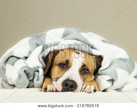 Funny young staffordshire terrier puppy lying covered in throw blanket and falling asleep. Close up image of tired or sick pitbull dog sleeping or resting under covers in bed in clean comfortable indoor bedroom conditions