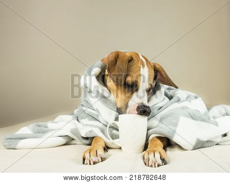 Cute funny dog posing in bed with plaid and cup. Young staffordshire terrier dog cuddles in throw blanket and holds white cup pretending to drink tea or coffee