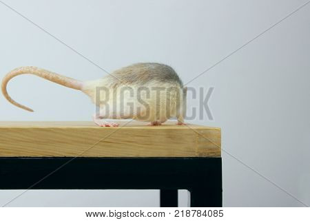 Rat on wooden table. Rat back View. Running rat. Zoophobia, Pets, Rodents Concept.Rat Scare.