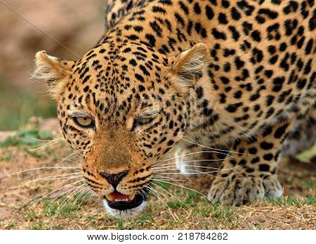 Full frontal view of a wild african leopard (panthera pardus) getting ready to attack in south Luangwa national aprk zambia
