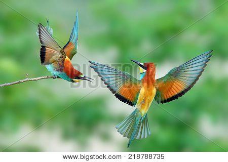 The life of bee-eater (Merops apiaster) in natura habitat