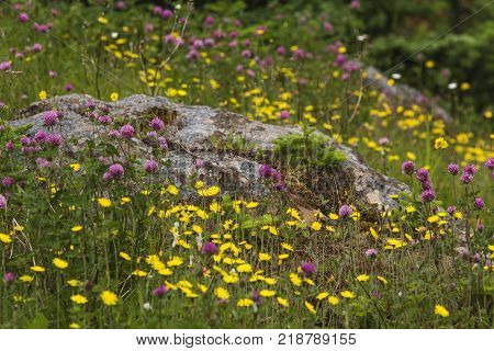 yellow buttercups and purple clover surrounding rock in Newfoundland meadow