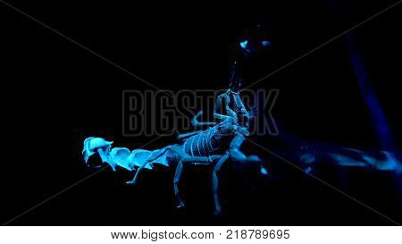 White and blue scorpio on black background. Bioluminescent scorpion under ultraviolet light at a zoo. Scorpion under ultraviolet light poster
