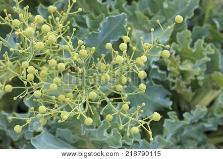 Fodder cabbage a bunch of fruits aeruginous the leaves of the plant.