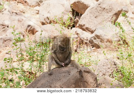 Closeup of Olive Baboons (scientific name: papio anubis, or Nyani in Swaheli)  in the Lake Manyara  park, Tanzania