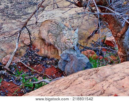 A wild Bob Cat native to Arizona along the Sterling Pass Trail north of Sedona.