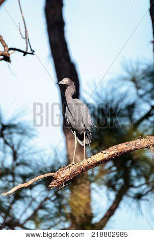 Little Blue Heron Bird Egretta Caerulea