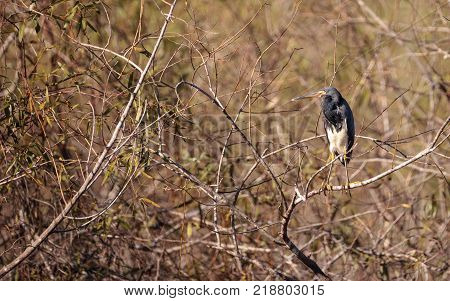 Tricolored Heron Shorebird Egretta Tricolor In A Marsh