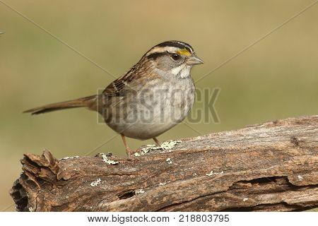 White-throated Sparrow (zonotrichia albicollis) perched on a log