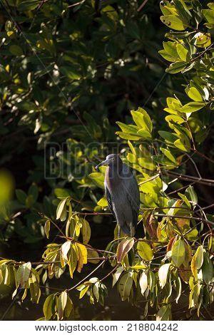 Little Blue Heron Egretta Caerulea Hides In A Bush
