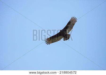 Turkey Vulture Cathartes Aura Circles High Above A Marsh