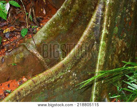 Buttressed roots of a tree at Daintree National Park north Queensland Australia