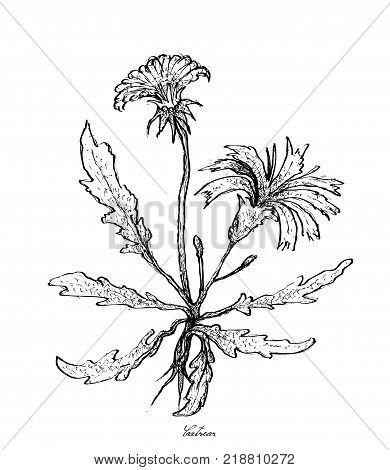 Vegetable Salad, Illustration of Hand Drawn Sketch Fresh Hypochaeris Radicata, Catsear, Flatweed, Hairy Cat's Ear or False Dandelion Isolated on White Background.