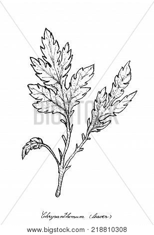 Vegetable Salad, Illustration of Hand Drawn Sketch Delicious Fresh Green Chrysanthemum Leaves Isolated on White Background.